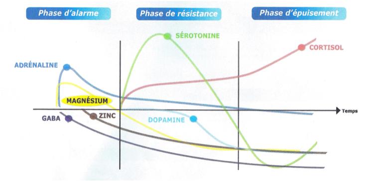 Le STRESS : phase par phase